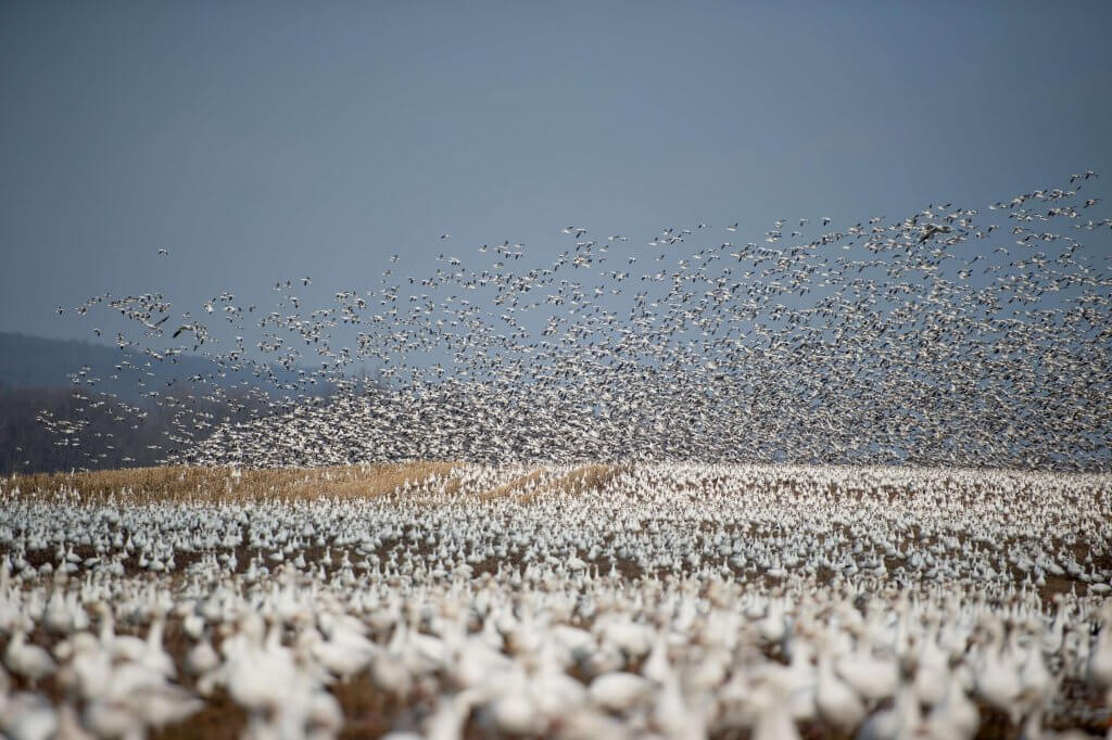 Crowdsourced content: Handle your crowd well and it will take off like this flock of snow geese. Photo by Ray Hennessy on Unsplash